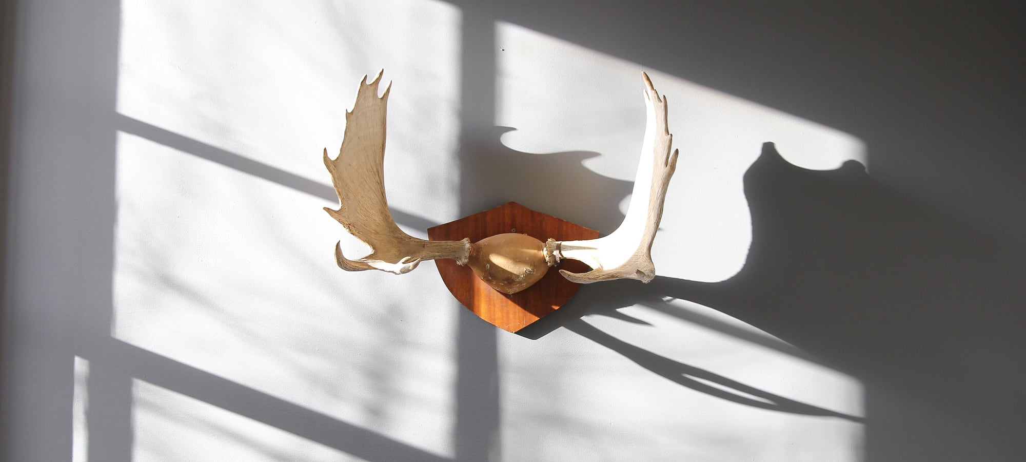 Antlers mounted on wooden plaque with sun shining onto white wall at Ritual House Creative office in Capitol Hill, Seattle, Wa.